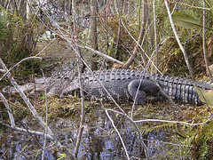 Large Alligator and yes we were that close to him!