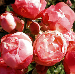 Coral color Cabbage Roses