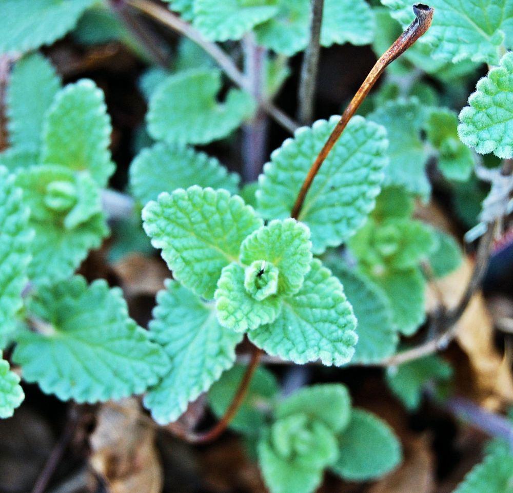 close up of cat mint seedlings