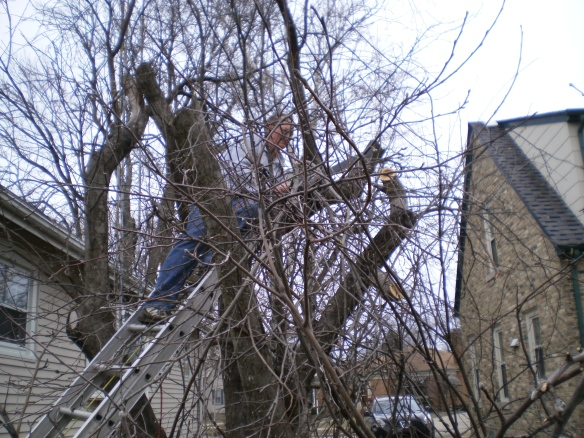 So here's Mike in the tree with the saw.  I was planning my route to the ER every time he  revved that saw's engine.