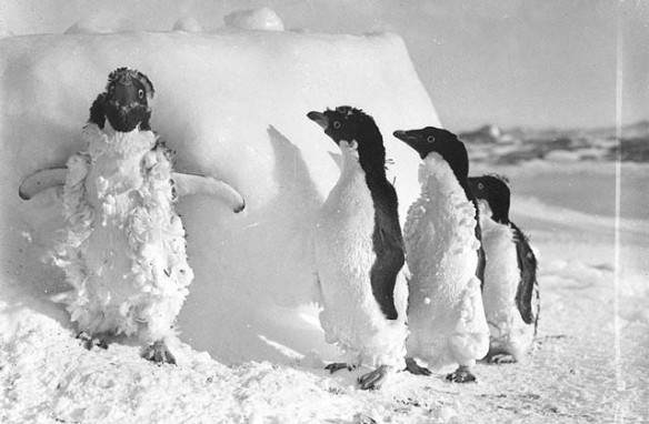 Ice cased Adelie penguins after a blizzard at Cape Denison, photograph by Frank Hurley from The State Library of New South Wales as a member of The Commons on Flickr.  No known copyright restrictions.