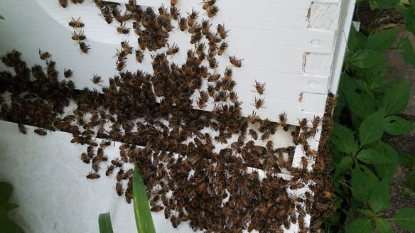 When it is hot weather bees don't always go into the hive at night.  They 'beard' the hive to keep cool.  Think of it as sitting on the front porch on a hot evening. Here's our hive 2 one evening after 100+F day.